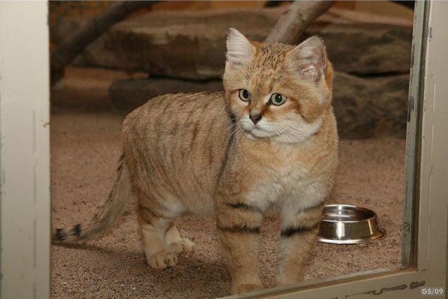 Písek, duny pouště nebo kočka (Felis margarita).