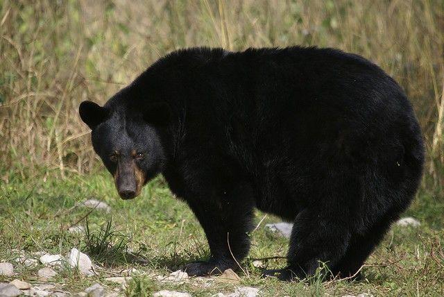 Američki medvjed (Ursus Americanus)