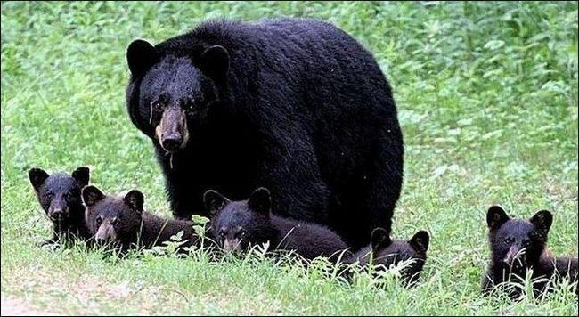 A ženka Američki crni medvjed sa pet mladunaca - to nije neuobičajeno