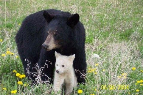 A ženka Američki crni medvjed sa bear-albinostsem