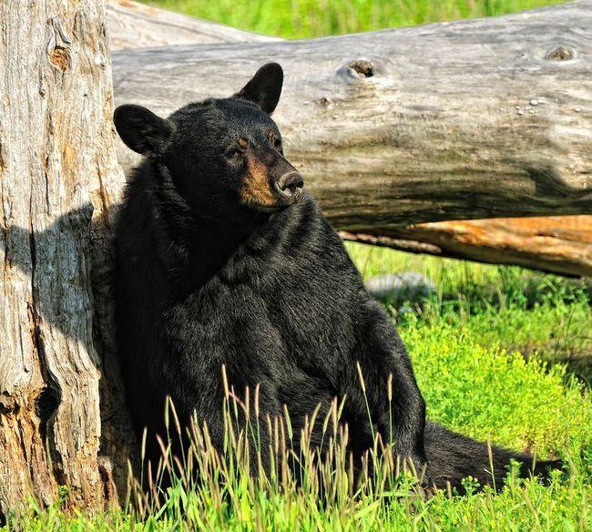 Američki medvjed američki medvjed znati aritmetika bolje od primata.