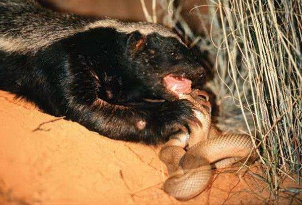 Za večeru, zmija je došao do jazavac