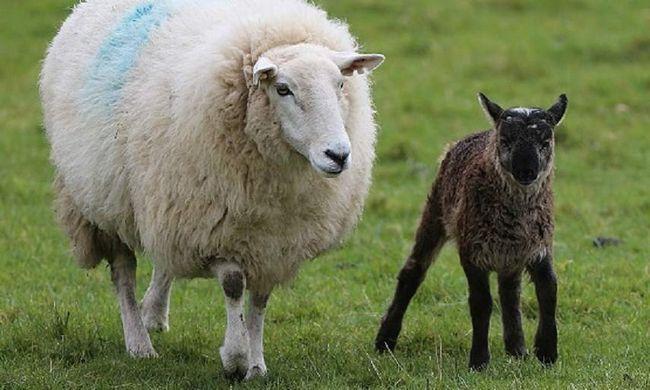 Гибрид овцы и козла во всех качествах превосходят своих родителей.
