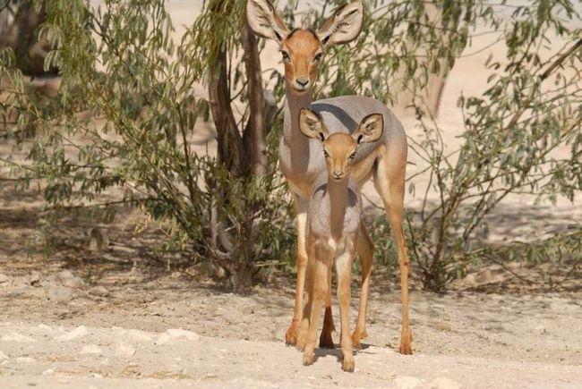 Бейра - уникальная антилопа. находящаяся на грани исчезновения.
