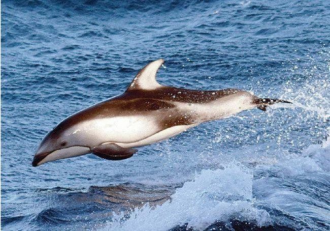 Черные дельфины встречаются только у побережья Чили, местные называют их «Tunina».