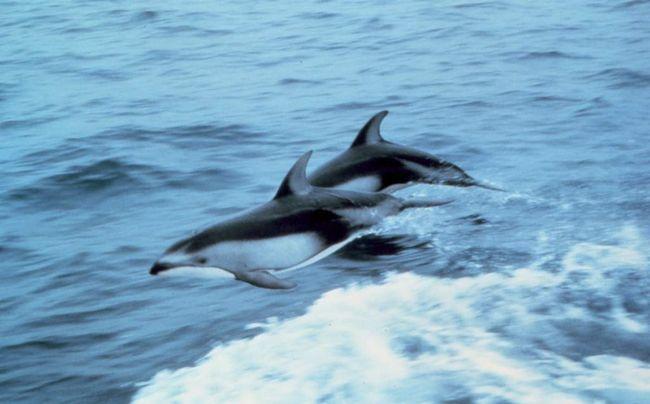 Какой бы ни была численность этого вида, белобрюхий дельфин эндемичен для побережья Чили.