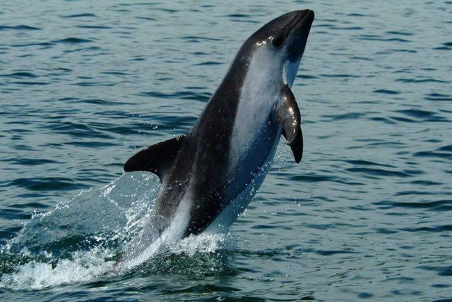 Обычно эти дельфины держатся небольшими стадами - от 2 до 10 особей.