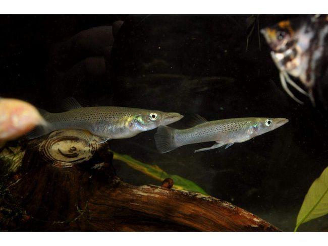 Белонезоксы часто содержатся в аквариумах.