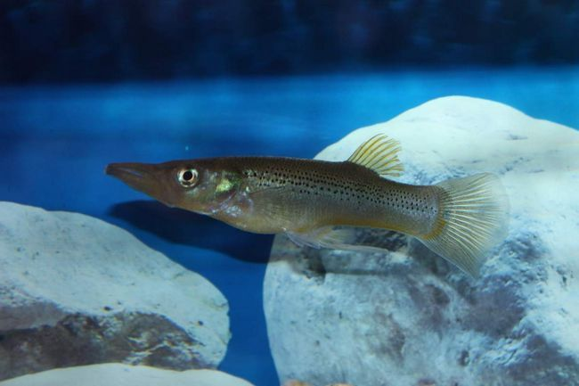 Белонезоксы плохо уживаются с другими рыбками.