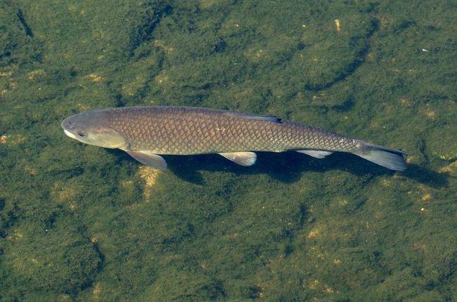 В настоящее время является объектом рыбоводства во многих европейских странах.