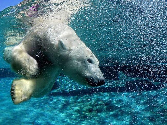 Белый полярный медведь отличный пловец. Ему не страшна холодная воды