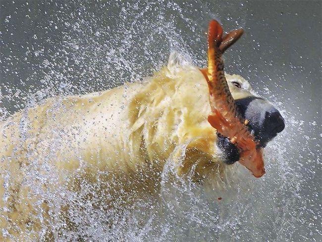 В холодных водах полярный медведь находит себе пропитание