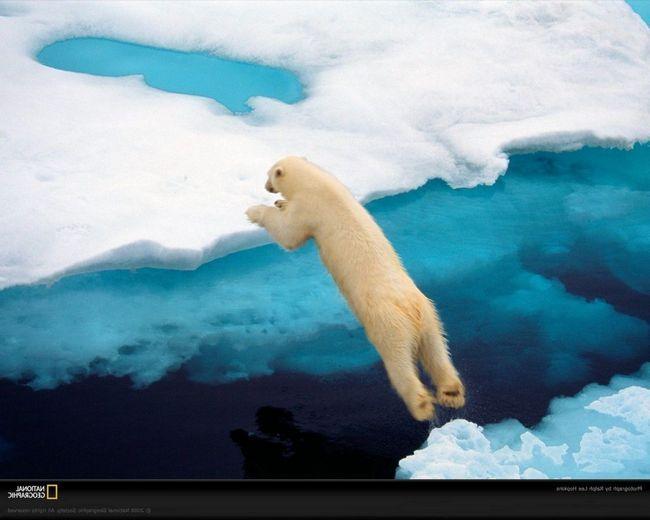 Белые медведи превосходно передвигаются по суше и плавают.