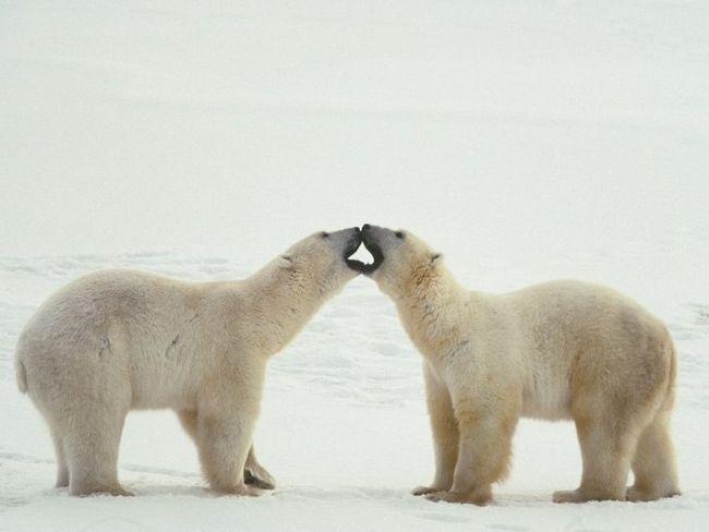 Встреча двух самцов. Что интересно, самцы полярных медведей в ритуальных стычках не наносят друг другу травм. Это, скорее всего, чисто показательные выступления