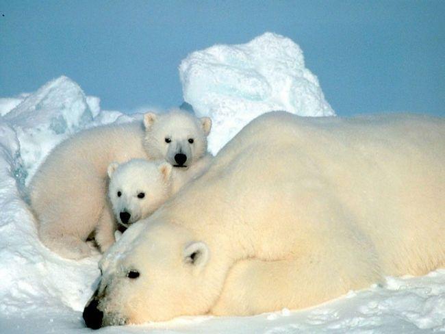 Материнство - отдельная тема. Более заботливой мамочки сложно отыскать в животном мире... Разве, что волчица отличается подобной же любовью и терпением