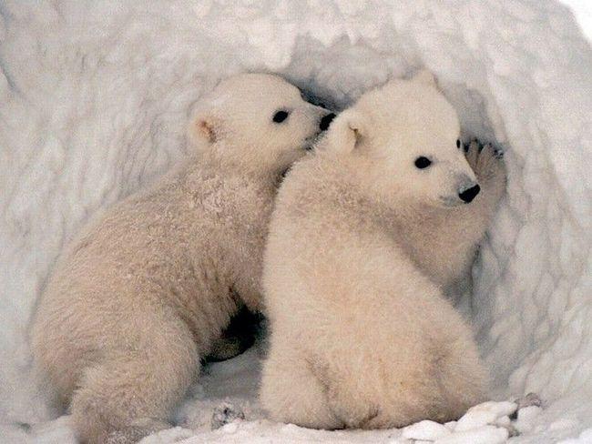 Медвежата в берлоге ждут свою маму