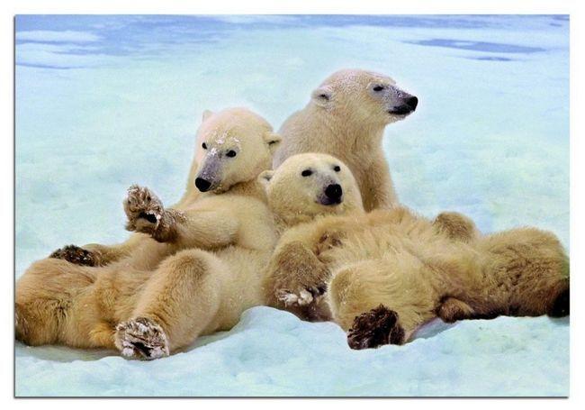 Подросшие белые медвежата еще долго остаются вместе