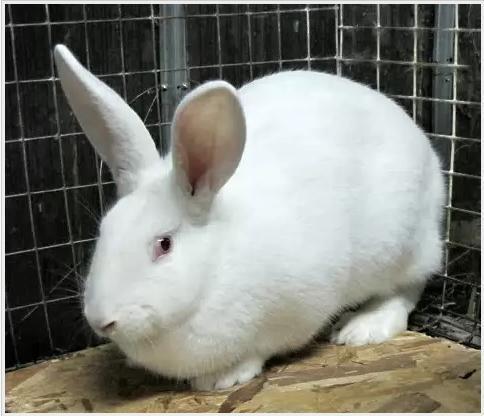 White Giant králik plemeno