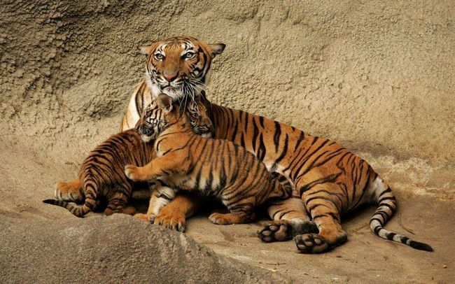 Самка бенгальского тигра с молодым поколением.