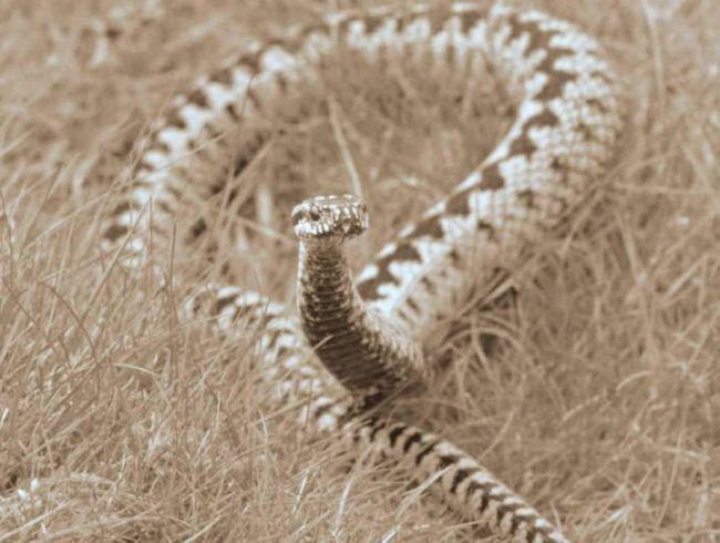 Trudna zmija iz restorana St. Petersburgu pušten na slobodu.