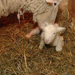 Беременность и окот у овец: подготовка к ягнению, принятие родов