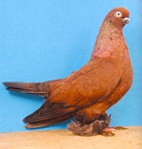 Берлинский короткий голубь