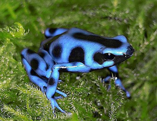Plava Poison Dart Frog.