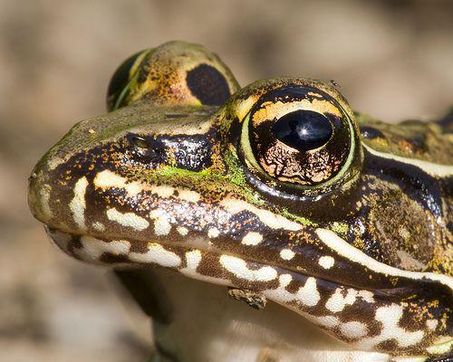 Frog Charmer
