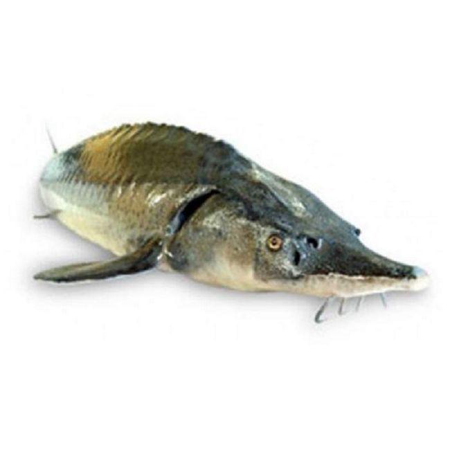 Бестеры кормятся фаршем из сорной рыбы или рыбными отходами.