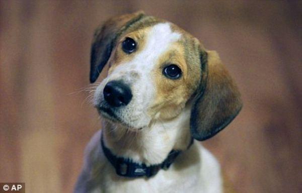 Beagle psi preživjeli gasnu komoru