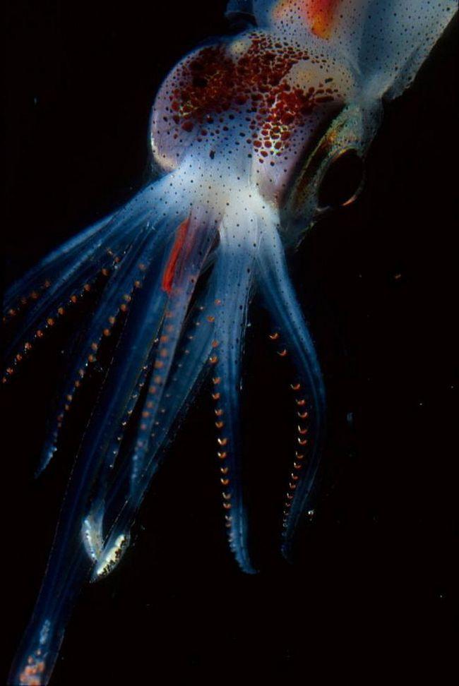 Kalmar vrsta Abraliopsis