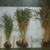 Biološki prinos i strukturu žitarica