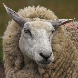 Biološke osobine ovaca