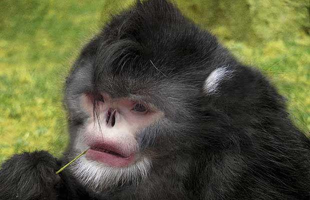 Mianmar prćastonosi majmun (lat. Rhinopithecus strykeri)