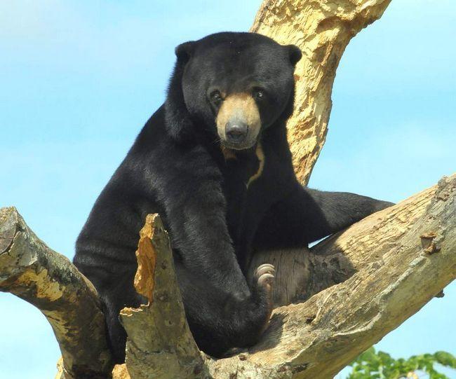 Biruang - je isto da je sunce medvjeda, med, malajski, pa čak i medvjed-pas