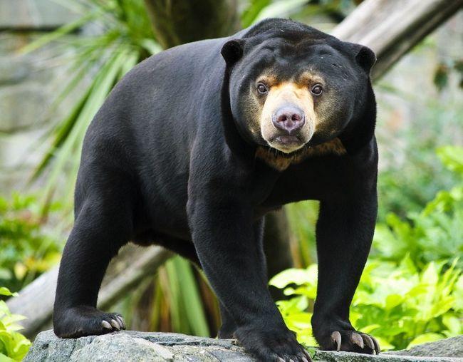 Malajski medvjed ili biruang (lat. Helarctos malayanus)