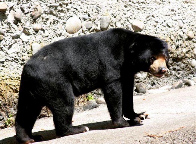 U beruanskih medvjedi izgovara velike kandže.