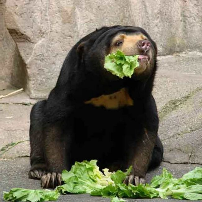 Beruangi jesti biljne i životinjske hrane.