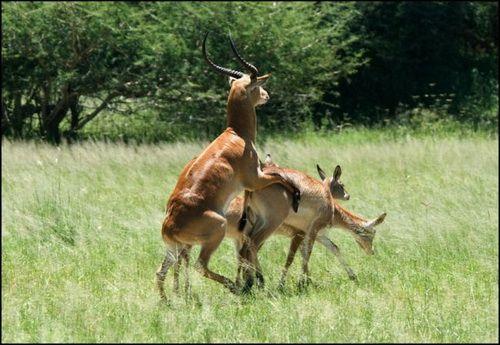 Бисексуальность фауны или животные игры