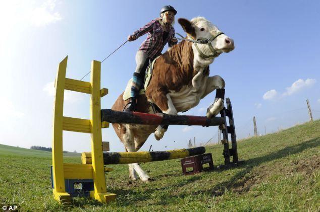 Bătălia de vaci - tradiție veche în Elveția
