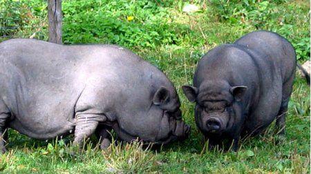 Бизнес план на разведение свиней