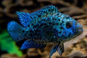Блю демпси — мерцающее чудо аквариума