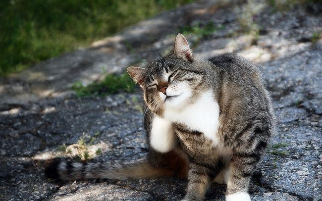 Блохи у кошек — причины, симптомы и лечение