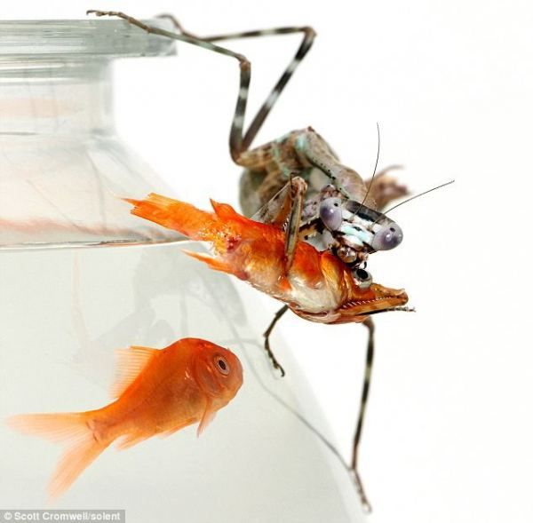 Mantises spretno uspravio sa pticama, zmije, pa čak i predstavnici sisara - miševa