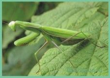 Богомол/ mantis religiosa
