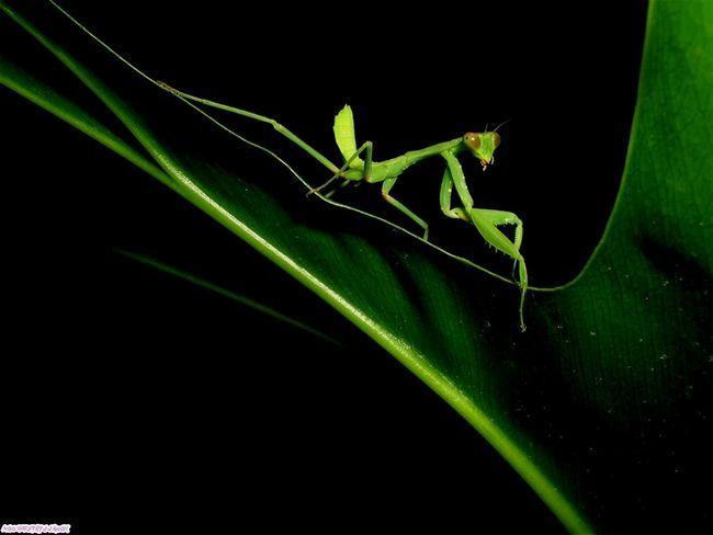Внешность богомола позволяет ему оставаться не замеченным среди листвы