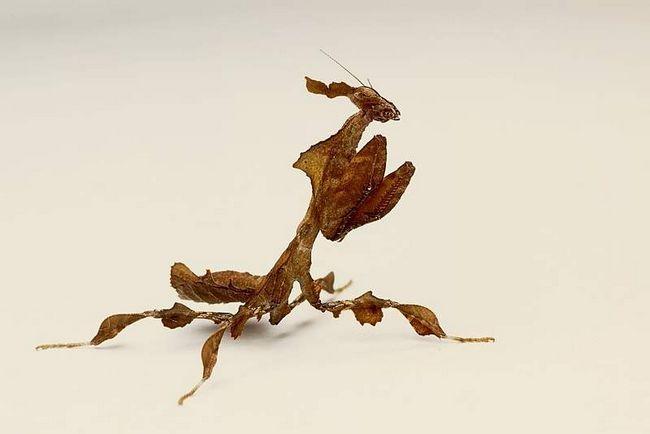 Mantis duh (Phyllocrania paradoxa).