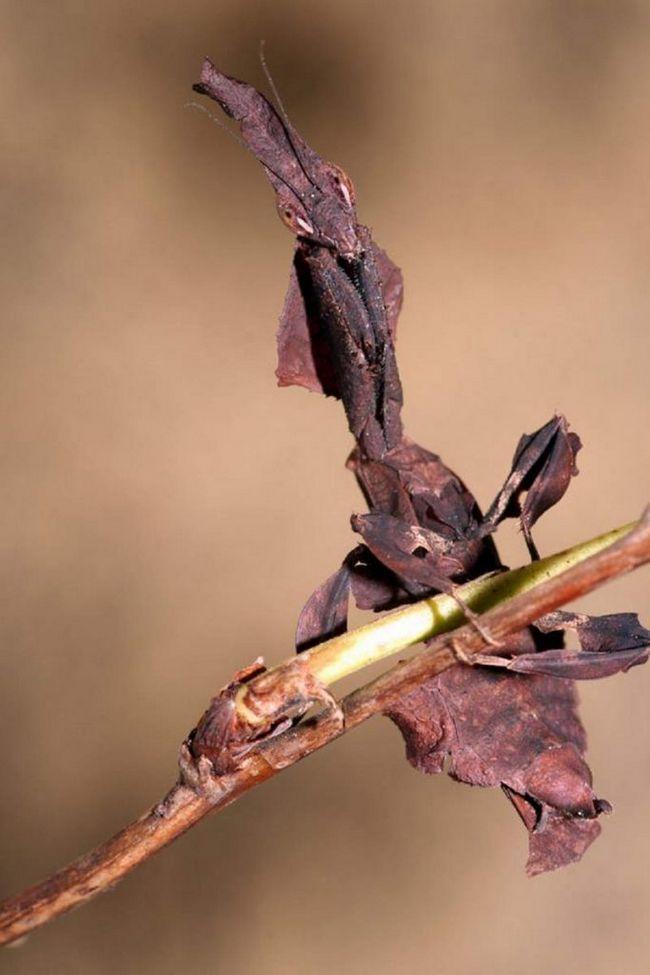 Tjedan dana nakon parenja, ženka polaže prvi ootheca u kojem se larve razvijaju mantis.