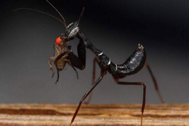 Mantis duh su kanibali.
