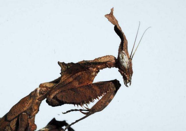 Nacionalnosti mantis duh podsjeća vanzemaljske stranac, ali terarijum cijeniti ovih insekata.